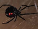 black_widow_01