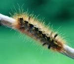 gtotem_caterpillar