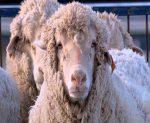 sheep240307_486x386