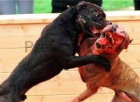 Birmingham_dog_fight