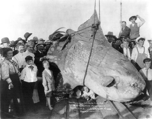 enormous_sunfish